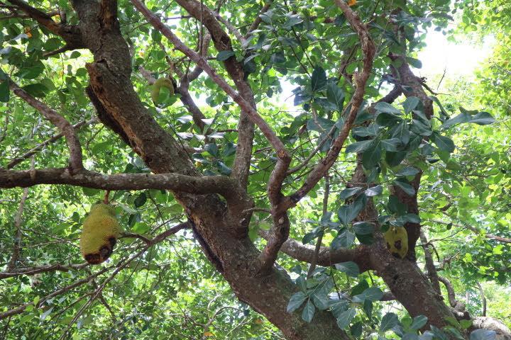 スペイン灯台横ジャックフルーツの木