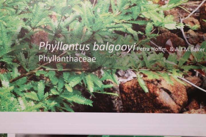 ギャラリー3鉱物取り込み植物Phyllantus balgooyi