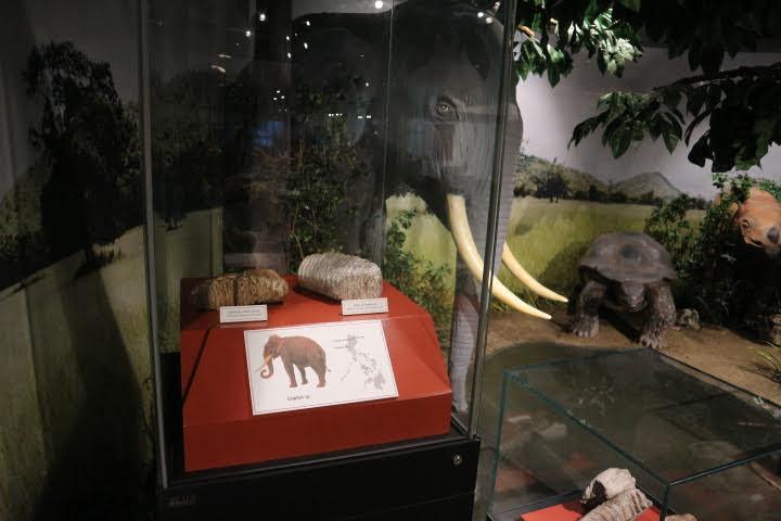 ギャラリー4象化石