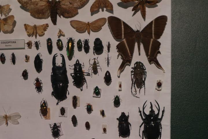 ギャラリー1昆虫剥製