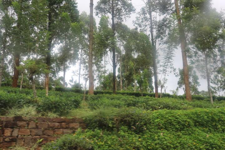 ヌワラエリヤへ道お茶畑