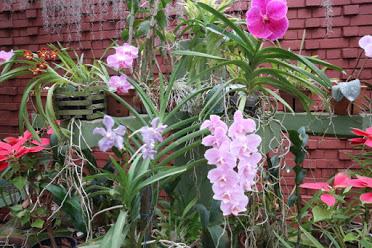 ペラデニア植物園蘭3