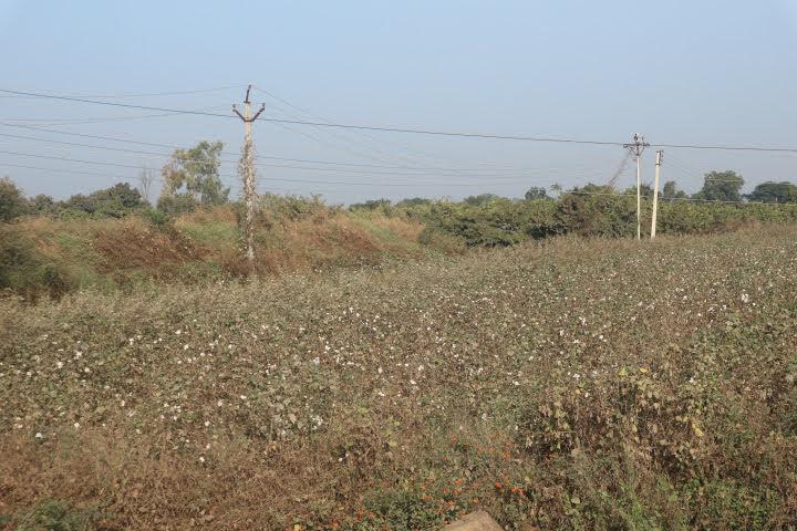 デカン高原綿花畑